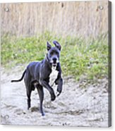 Great Dane Acrylic Print