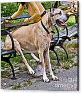 Great Dane Sitting On Park Bench Acrylic Print