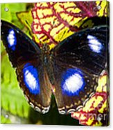 Great Eggfly Butterfly Acrylic Print