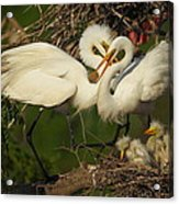 Great Egret 2am-7177 Acrylic Print