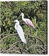 Great Egret And Roseate Spoonbill Acrylic Print