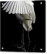 Great Egret Bowing Acrylic Print