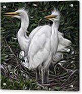 Great Egret Chicks Acrylic Print by Hazel Billingsley