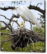 Great Egret Chicks - Sibling Rivalry Acrylic Print by Carol Groenen