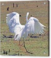 Great Egret Dancing In Auroraville Acrylic Print
