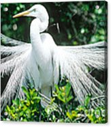 Great Egret Displaying Breeding Plumage Acrylic Print