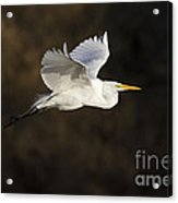 Great Egret Flying By Acrylic Print