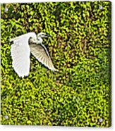 Great Egret Flying Over Rapti River In Chitwan Np-nepal Acrylic Print