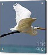 Great Egret Galapagos Acrylic Print