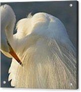 Great Egret Grooming Acrylic Print