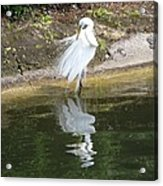 Great Egret In The Lake Acrylic Print