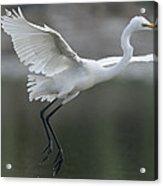 Great Egret Landing Sarawak Borneo Acrylic Print