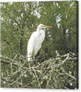 Great Egret Lookout Acrylic Print