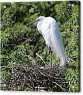 Great Egret Nest Acrylic Print