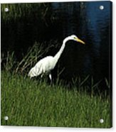 Great Egret Next To A Lake Acrylic Print