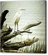 Great Egret On A Fallen Tree Acrylic Print by Joan McCool