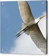 Great Egret Overhead Acrylic Print