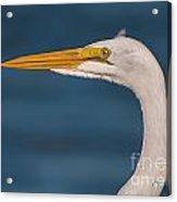 Great Egret Portrait Acrylic Print