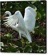 Great Egret Pose Acrylic Print