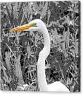 Great Egret Poster Acrylic Print