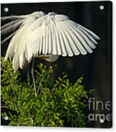 Great Egret Preening Acrylic Print