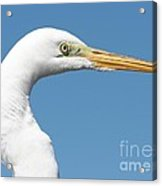 Great Egret Profile Against Blue Sky Acrylic Print