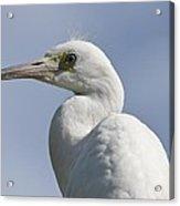 Great Egret Profile Acrylic Print