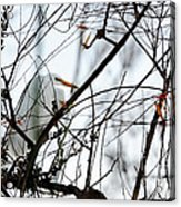Great Egret Roosting In Winter Acrylic Print