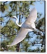 Great Egret Spirit Acrylic Print
