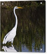 Great Egret Standing Out Acrylic Print