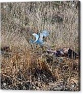 Great Egret Takes Flight Acrylic Print