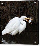 Great Egret With Big Fish Acrylic Print