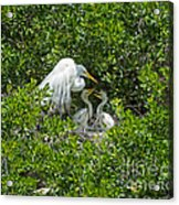Great Egret With Chicks On The Nest Acrylic Print