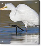 Great Egret With Leg Up Acrylic Print