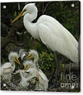Great Egret With Young Acrylic Print