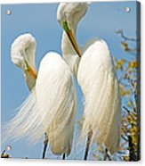 Great Egrets At Nest Acrylic Print