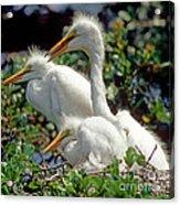 Great Egrets Acrylic Print