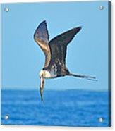 Great Frigate Bird Acrylic Print