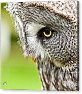Great Gray Owl Close Up Acrylic Print