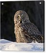 Great Gray Owl In Snow Acrylic Print