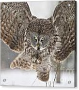 Great Gray Owl Pictures 634 Acrylic Print