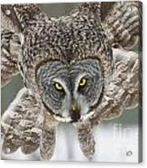 Great Gray Owl Pictures 648 Acrylic Print