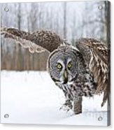 Great Gray Owl Pictures 658 Acrylic Print
