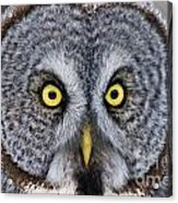 Great Gray Owl Pictures 680 Acrylic Print