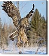 Great Gray Owl Pictures 767 Acrylic Print