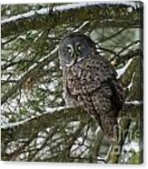 Great Gray Owl Pictures 780 Acrylic Print