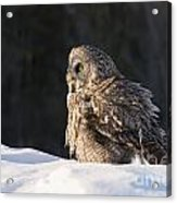 Great Gray Owl Pictures 788 Acrylic Print