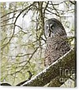 Great Gray Owl Pictures 804 Acrylic Print