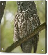 Great Gray Owl Pictures 823 Acrylic Print