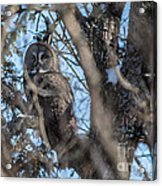 Great Grey In The Woods Acrylic Print